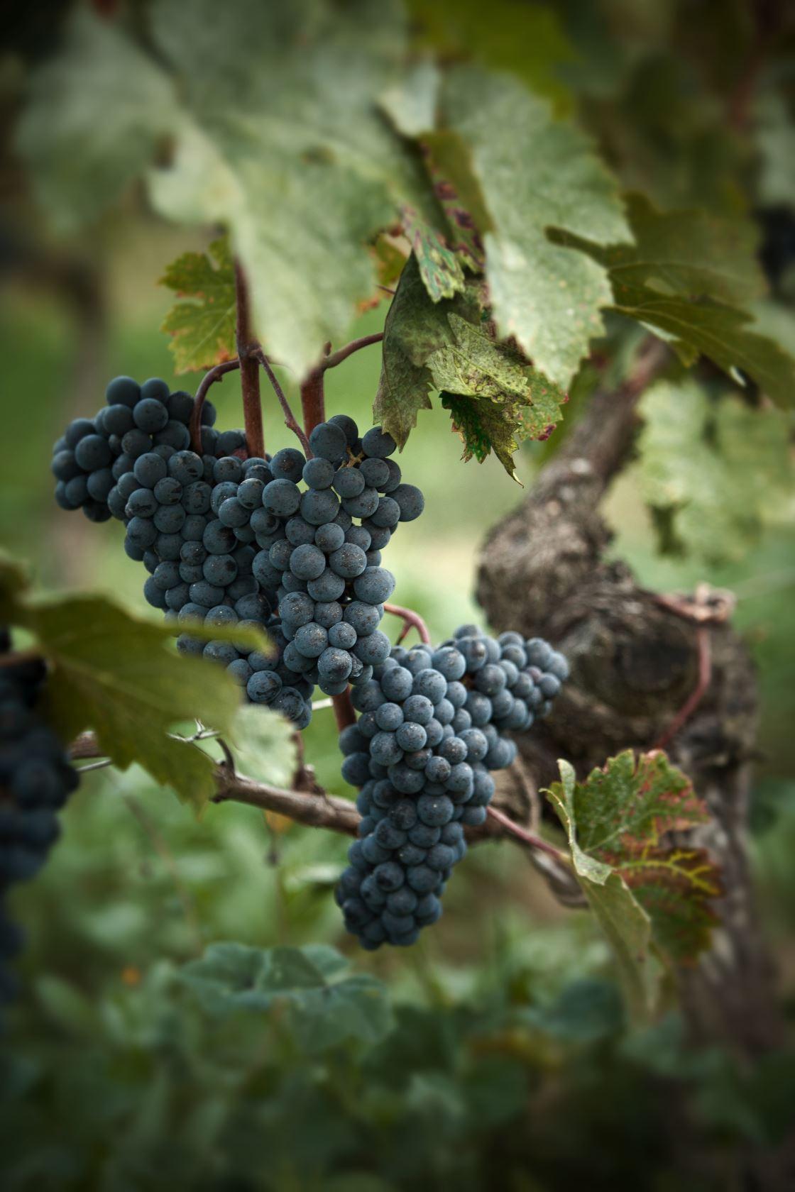 Gappe raisins château Ausone